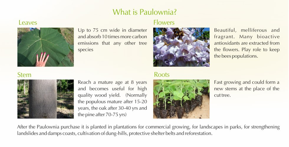 3-Paulownia – promising investment