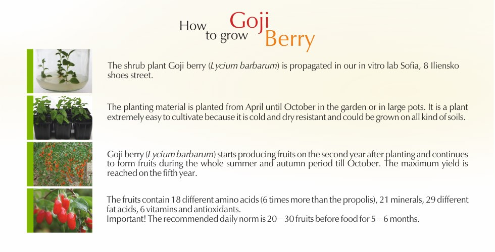 Goji berry – health and longliving