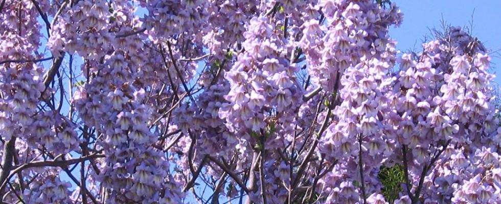 blossoms of Paulownia
