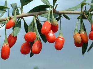 Why we should grow Goji Berry