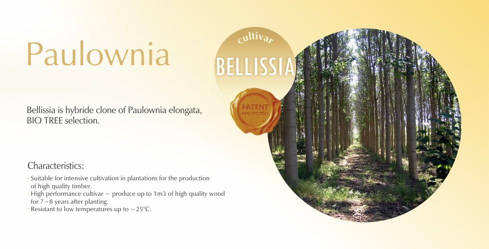 Bellissia – Paulownia elongata hybrid clone