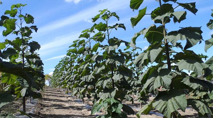 Successful Plantations Of Paulownia Bellissia In Serbia