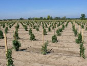 Plantation of Goji berry variety JB1 built by ET