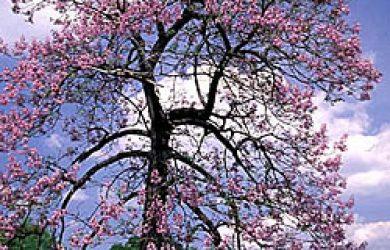 Paulownia species