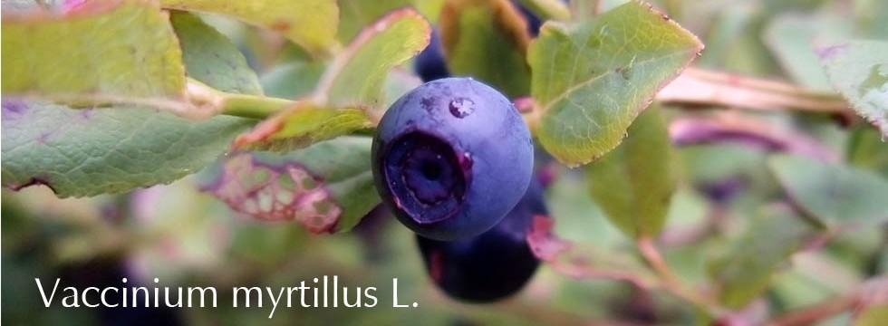 Vaccinium myrtillus L