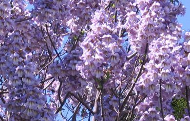 blossoms of Paulownia