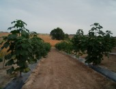 Paulownia Bellissia,Bachka Topola, September 2012, 4 months after planting