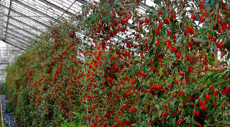 Goji Berry Grown In Poland Greenhouse Paulownia Trees