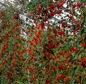 Goji Berry Is A Miracle Fruit The Story This Plant With Continued